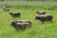 A flock of sheep grazes. On a green field royalty free stock photography