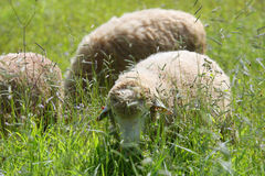 A flock of sheep grazes. On a green field stock images