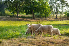 Flock of sheep grazes on a green field Royalty Free Stock Image