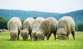 Flock of sheep grazes on a green field Royalty Free Stock Images