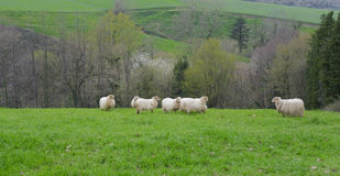 Flock of sheep grazes on a green field Royalty Free Stock Photos