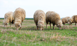 Flock of sheep grazes on a green field in summer Royalty Free Stock Images