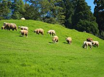 A flock of sheep grazes on lush Royalty Free Stock Photography