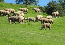 A flock of sheep grazes on lush grass Royalty Free Stock Image