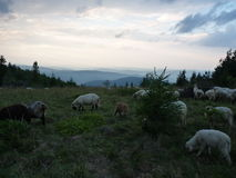 A flock of sheep grazes in a meadow in the mountains before the storm Stock Photo