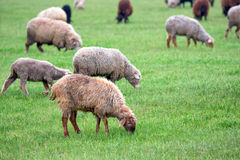 Flock of sheep grazes on a pasture Stock Photos