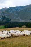 Flock of sheep grazes on pasture Royalty Free Stock Image