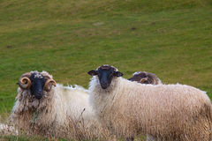 Flock of sheep grazes on pasture Royalty Free Stock Photography
