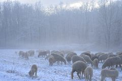 Flock of sheep grazes on a snow-covered field