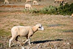 Flock of Sheep Grazing. In Ronda, Spain Royalty Free Stock Photos