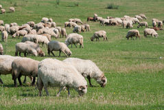Flock of sheep grazing Royalty Free Stock Images