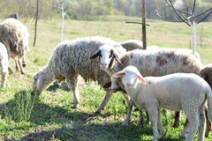 Flock of Sheep. A flock of grazing sheep Royalty Free Stock Image