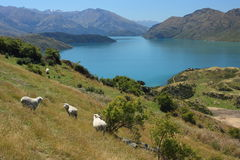 Flock of sheep grazing above lake Wanaka Royalty Free Stock Photo