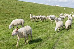 Flock of sheep grazing along a Dutch royalty free stock photo
