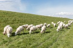 Flock of sheep grazing along a Dutch dike Royalty Free Stock Image