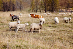 Flock of sheep grazing in the autumn in Altai Royalty Free Stock Photos