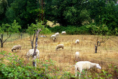 A flock of sheep grazing in the autumn field Stock Photo