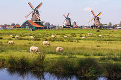 Flock of sheep. Grazing on the background of the mills Stock Photography