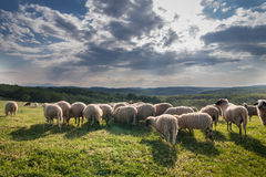 Flock of sheep grazing on beautiful mountain meadow Stock Photography