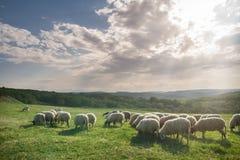 Flock of sheep grazing on beautiful mountain meadow Stock Photography