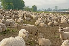 Flock of sheep grazing on the borders of river Rhine