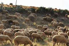Flock of sheep grazing in the bush in southern Spain Stock Photo