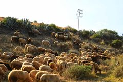 Flock of sheep grazing in the bush in southern Spain Stock Photos