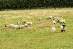 Flock of sheep grazing in Cornwall Royalty Free Stock Photo