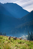Flock of sheep grazing at dawn, Tatra Mountains Stock Photography
