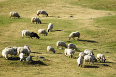 Flock of sheep grazing at dusk Royalty Free Stock Images