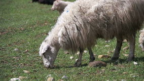 Flock of Sheep Grazing and Eat Grass on Meadow. Animals Walk on Field. Slow Motion stock video footage