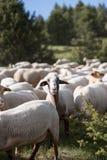 Sheep grazing. El Tarter, Canillo, Andorra. stock images