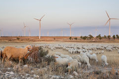 Flock of sheep grazing at electric wind turbines farm Stock Image