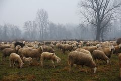 Flock of sheep grazing in the fall Stock Images