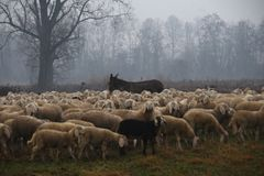 Flock of sheep grazing in the fall Stock Photos