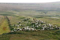 Flock of sheep grazing Stock Image