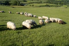 Flock of sheep Stock Photography