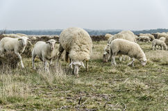 Flock of sheep grazing Royalty Free Stock Photo