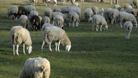 Flock of sheep grazing on a field of farmland. stock video footage