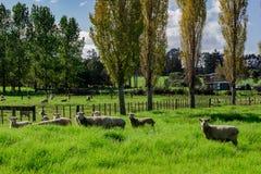 Sheep in a Field, Kerikeri NZ. A flock of sheep grazing in a field in Kerikeri, New Zealand, Aotearoa Royalty Free Stock Photos