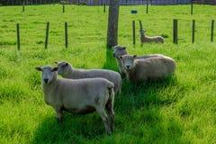 Sheep in a Field, Kerikeri NZ. A flock of sheep grazing in a field in Kerikeri, New Zealand, Aotearoa Royalty Free Stock Photo