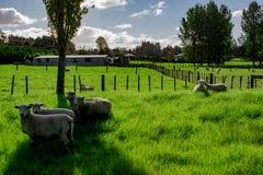 Sheep in a Field, Kerikeri NZ. A flock of sheep grazing in a field in Kerikeri, New Zealand, Aotearoa Stock Images