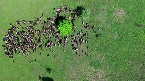Flock of sheep grazing on field stock footage