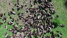 Flock of sheep grazing on field stock video footage
