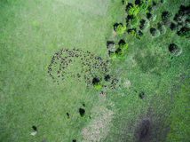 Flock of sheep grazing on field Stock Image