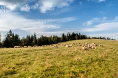 Flock of sheep grazing. Royalty Free Stock Images