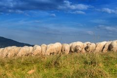 Flock of sheep grazing. Royalty Free Stock Photography