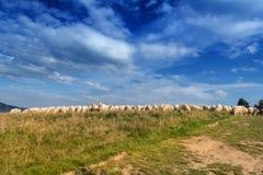 Flock of sheep grazing. Royalty Free Stock Image