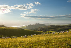 Flock of sheep grazing in flowered field Stock Images
