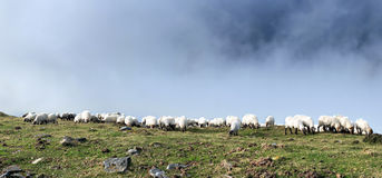 Flock of sheep grazing with fog Royalty Free Stock Photo